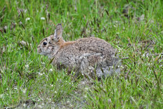 A wild hare in the springtime Stock Photo