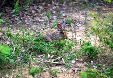 Wild Hare Sri Lanka Royalty Free Stock Photo