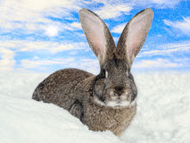 Wild hare under the snowfall Stock Photos