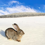 Wild hare on the winter field Royalty Free Stock Photography