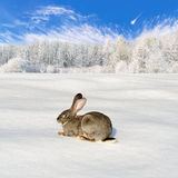 Gray rabbit in the winter forest Royalty Free Stock Photography