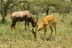 Wild hartebeest and  Bohor reedbuck. Image of a wild hartebeest and Bohor reedbuck Royalty Free Stock Photography