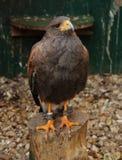 Wild hawk Royalty Free Stock Photo