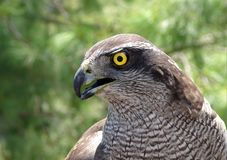 The wild hawk Bird Eye Stock Photography