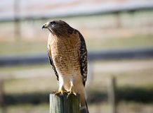 Wild hawk on fence post. Close shot of a wild hawk looking for his prey in a pasture stock images
