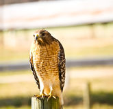 Wild hawk on fence post Royalty Free Stock Photos