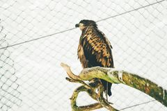 Wild hawk in finland zoo on the tree royalty free stock photography