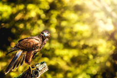 Wild Hawk Perched on Stump Looking at You Stock Photos