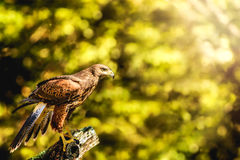 Wild Hawk Perched on Stump Sunlight Royalty Free Stock Image