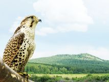 Wild hawk sits on a tree bough against the backdrop of a beautiful summer landscape. In a sunny day royalty free stock photography