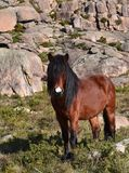 Wild hazel horse. Wild male hazel horse, with black mane and white spot on forehead. Lovely stallion in freedom grazing in a meadow of a mountain royalty free stock photo
