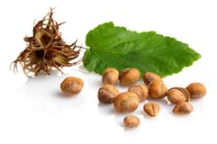Wild hazelnuts with leaf and involucre,husk isolated. Wild hazelnuts with leaf and husk isolated on white background Royalty Free Stock Image
