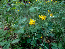 Wild healing plant celandine with yellow flowers. Glade with a growing celandine in the forest Stock Photos