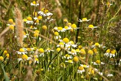 Wild chamomile on the forest royalty free stock images