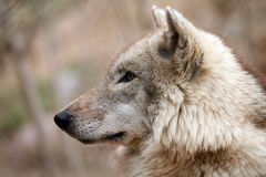 Wild At Heart. Side profile of a Timber Wolf against a blurred background Royalty Free Stock Photo
