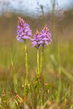 Wild heath spotted-orchid Stock Photo