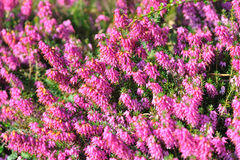 Wild heather Stock Image