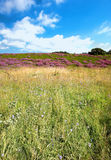 Wild heather in Denmark Royalty Free Stock Image