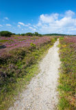 Wild heather and trail - Denmark Stock Photo
