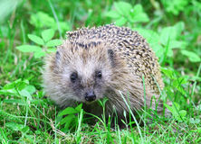 Wild hedgehog. On green grass stock images