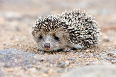 Wild hedgehog Royalty Free Stock Image