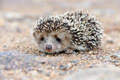Wild hedgehog royalty free stock image