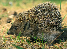 Wild hedgehog Stock Image