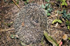 Wild hedgehog curled into ball in grass royalty free stock photo