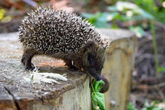 The wild hedgehog in the forest. Warm day Royalty Free Stock Images