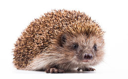 Wild hedgehog isolated on white Stock Images