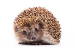Wild hedgehog isolated on white Royalty Free Stock Photo