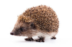 Wild hedgehog isolated on white Royalty Free Stock Photography