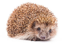 Wild hedgehog isolated on white Stock Photo