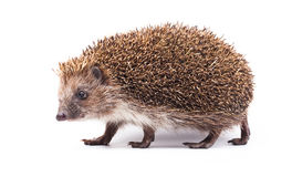 Wild hedgehog isolated on white Stock Photos