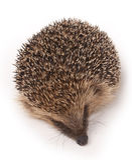 Wild Hedgehog Stock Images