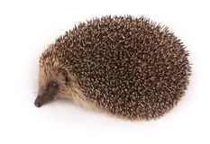 Wild Hedgehog Royalty Free Stock Images