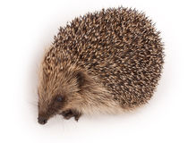Wild Hedgehog Royalty Free Stock Photography