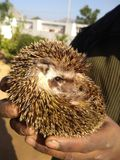 Wild Hedgehog Jhaulya royalty free stock photos