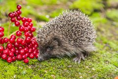 Wild Hedgehog is looking for a food Stock Images