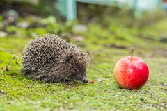 Wild Hedgehog is looking for a food Royalty Free Stock Photos