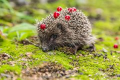 Wild Hedgehog is looking for a food Stock Image