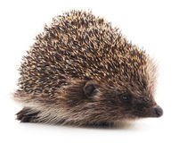 Wild hedgehog. Royalty Free Stock Photo