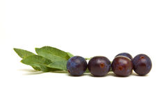 Wild Hedgerow Sloes Stock Photos