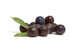 Wild Hedgerow Sloes Royalty Free Stock Photos