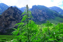 Wild hemp in the mountains. Wild cannabis in the mountains Royalty Free Stock Photography