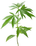 Wild hemp plant. Isolated on a white background Stock Photography