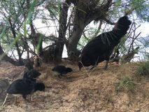 Wild Hen with Baby Chickens under Casuarina Tree on Beach in Kapaa on Kauai Island in Hawaii. Stock Images