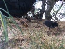 Wild Hen with Baby Chickens under Casuarina Tree on Beach in Kapaa on Kauai Island in Hawaii. Stock Photo