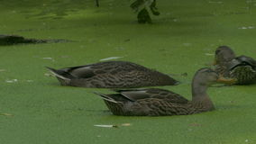 Wild Hens (Anas platyrhynchos) swimming among the duckweed (Lemna minor) stock video