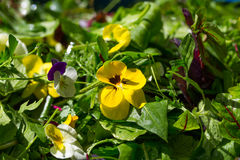 Wild herb salad fresh on the market. Green Royalty Free Stock Photo